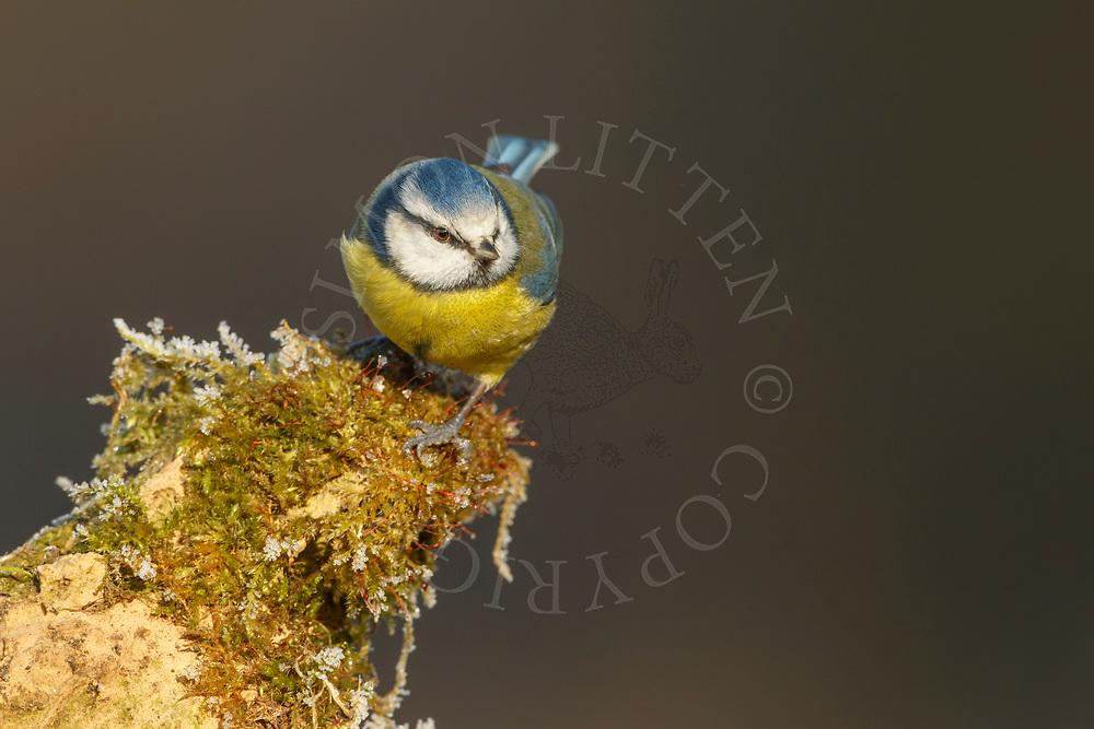 Blue Tit (Parus caeruleus) adult, perched on weathered stone, South Norfolk, UK. January.