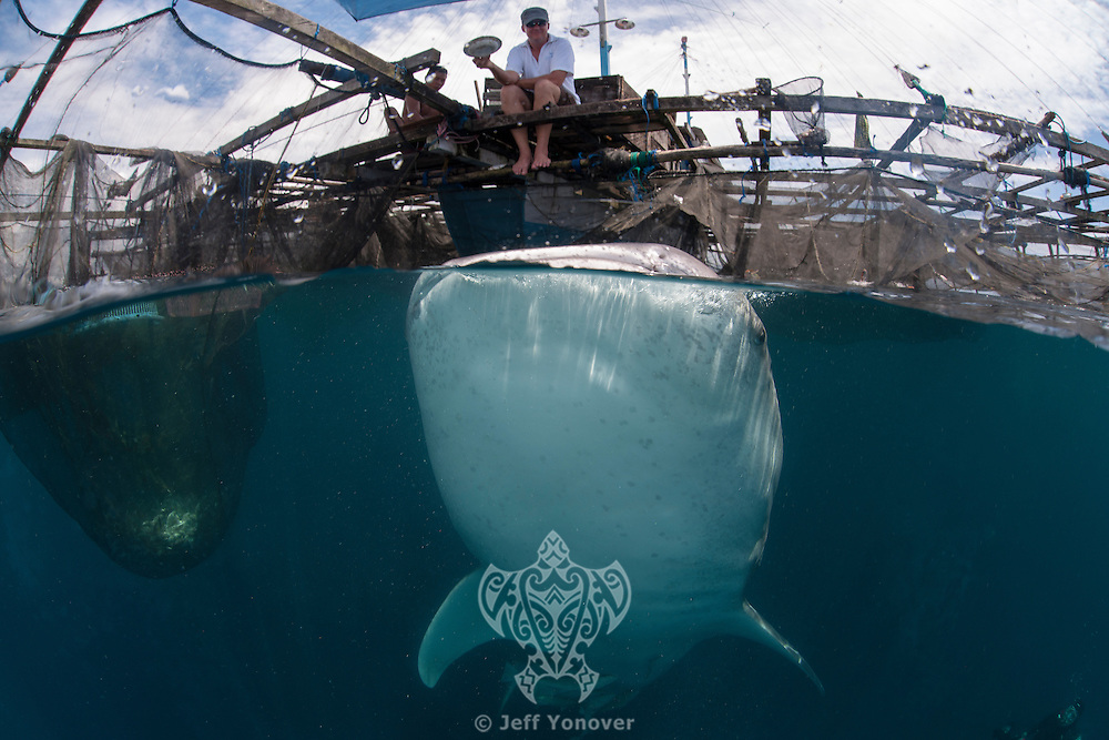 Feeding the Whale Sharks of Cenderawasih Bay..Shot in Indonesia
