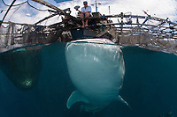 Feeding the Whale Sharks of Cenderawasih Bay..Shot in Indonesia