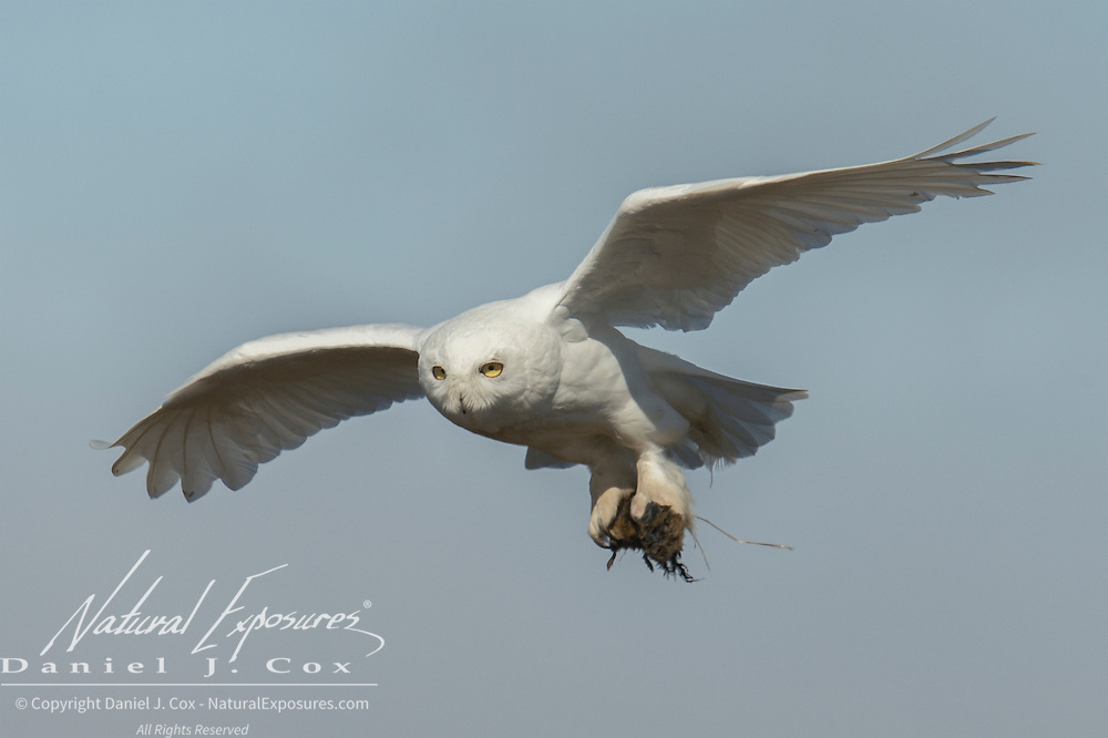A male snowy owl (Bubo scandiacus) in flight carrying a brown lemming. Alaska