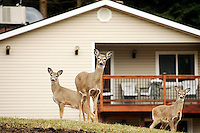 JEROME A. POLLOS/Press..The Idaho Fish and Game Department and Coeur d'Alene City Council are trying to find a way to reduce the number of deer that have overpopulated areas on the city's edges. These three deer were crossing through a Cherry Hill backyard Tuesday.