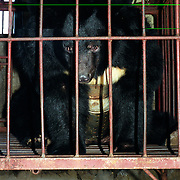"""A wild black bear lays in a cage in a """"bear farm"""" near Yianji city in northeastern China..A rusty metal instrument is permanently inserted in the bear's belly, extracting its bile juice, a substance prized by the Chinese as a medicine..This farm houses about 30 adult and young bears, all of them locked here for the rest of their lives..There are no more wild bears in the area."""