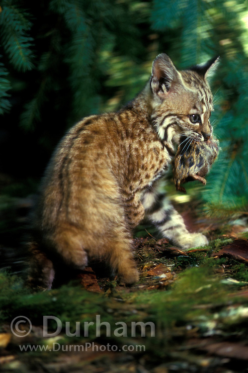 A six-week old bobcat kitten (Felis rufus) with rodent prey. Temporarily captive in a rehab facility, near Eugene Oregon.
