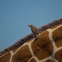 Oxpecker on a reticulated giraffe