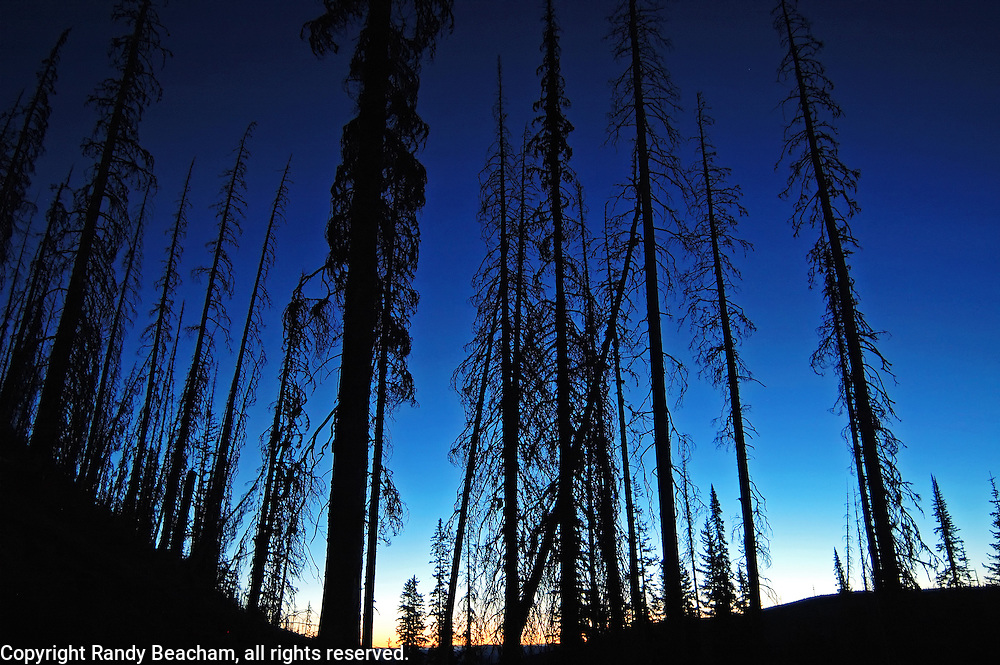 Forest 12 years after a wildfire at dawn. Northwest Peak Scenic Area in the Purcell Mountains, Montana