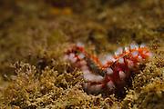 Israel, Mediterranean sea, - Underwater photograph of a fireworm (or bristleworm) Eurythoe complanata
