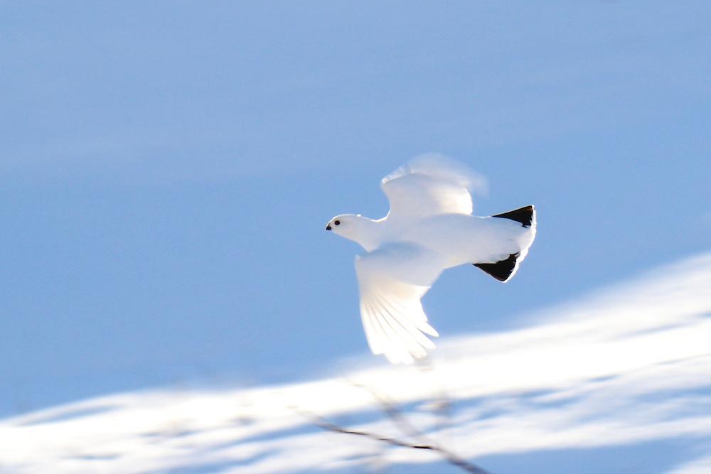 A lone snow white ptarmigan flies across the arctic terrain.