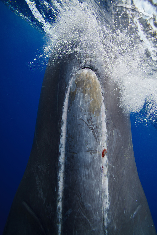 Super close-up shot of Scar, a 10-year old sperm whale (Physeter macrocephalus) in Dominica. A small bit of squid is visible in Scar's mouth. echeng100129_0248190