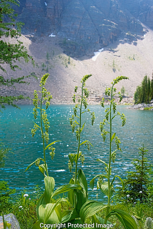 Wild flowers near Lake Louise., Alberta, Canada, Isobel Springett