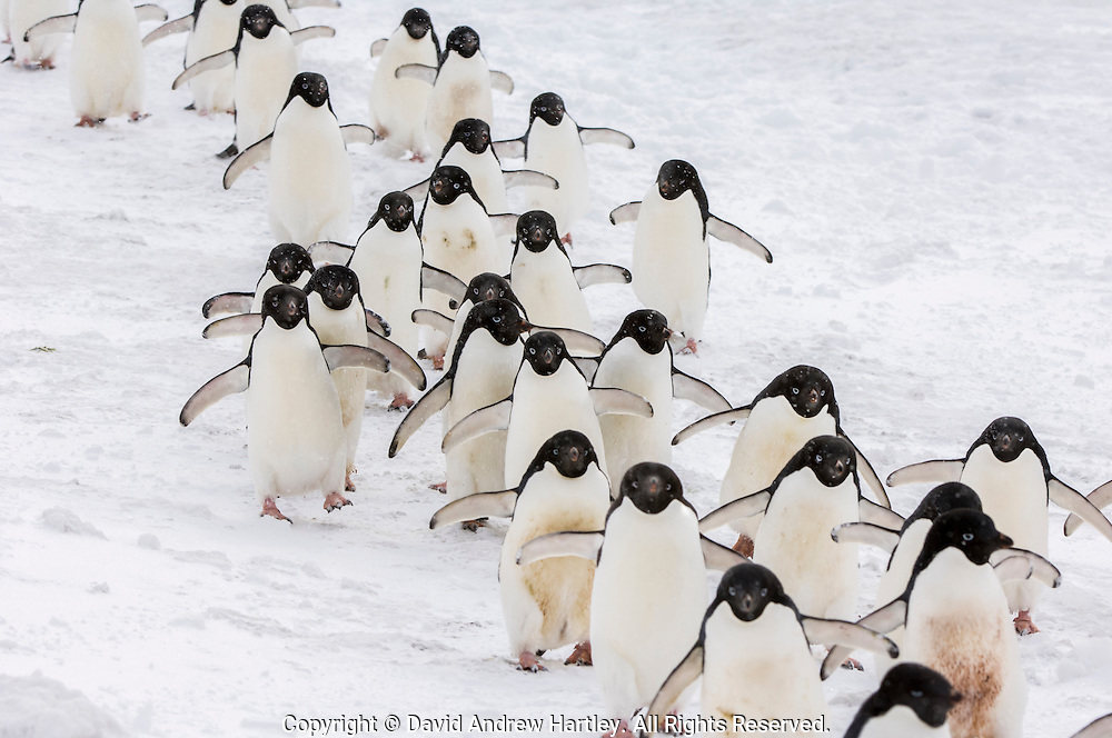 A group of Adelie penguin (Pygoscelis adeliae) with flippers out-stretched march back to the ocean, Brown Bluff, Tabarin Peninsula, Antarctica