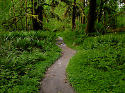 A trail passes through an understory of fresh Sword Ferns along the North Fork Quinault River trail in Olympic National Park. WA, USA Photo by Ed Book