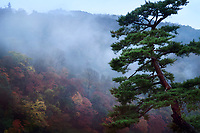 Beautiful old Japanese red pine tree, Pinus densiflora, in a foggy autumn morning scenery with Arashiyama mountain in the background, Kyoto, Japan.