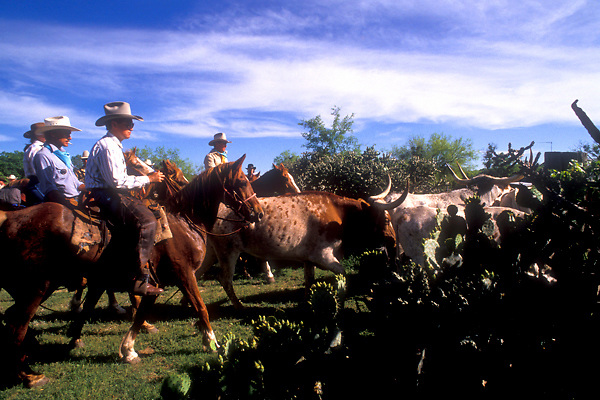 cowboys guiding a herd of longhorn cattle