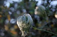 Old mans beard clematis plant in December in Ireland