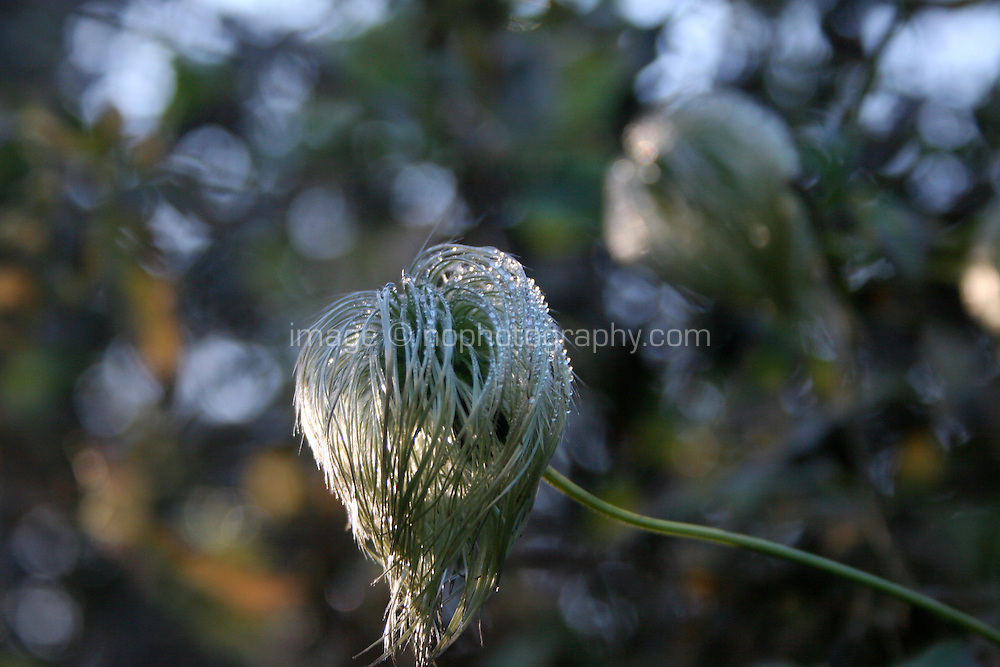 Old mans beard clematis plant in December in Ireland