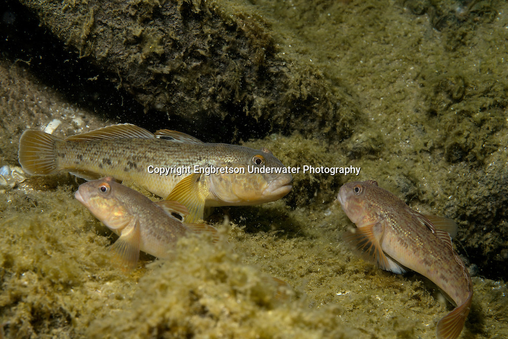 Roundy Goby<br />