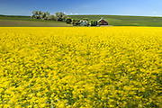 Canola Spring Bloom in Palouse Washington