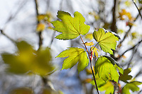 fresh new leaves of Sycamore tree in spring woodland. UK England