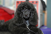 Black Miniature Poodle - Puppy Model release available