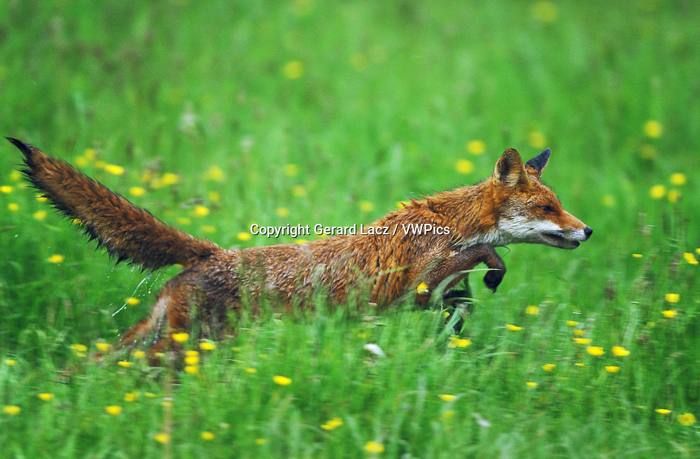 Red Fox, vulpes vulpes, Adult running through Meadow, Normandy
