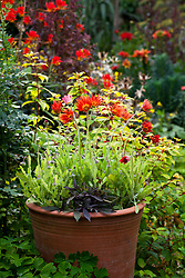 Arctotis 'Flame' in a terracotta pot in the oast garden with Crocosmia 'Lucifer' in the background