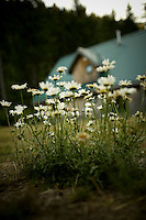daisys bloom in front of the main house at the Opal creek campground in Oregon.