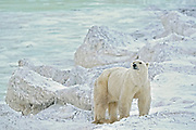 Polar bear on Hudson Bay Coast<br />