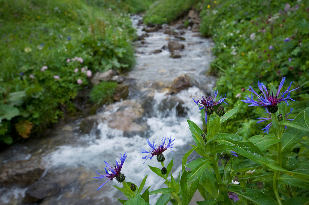 Centaurea montana; Mountain cornflower, Malbun, Lichtenstein