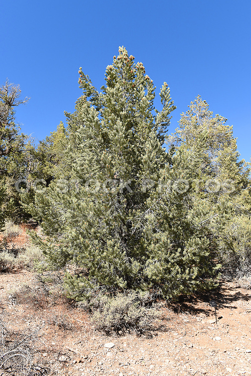 Pinyon Pine in Big Bear Wilderness