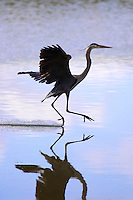 Hiding in a bush I was able to get this amazing photo of a Great Blue Heron landing on a lake.