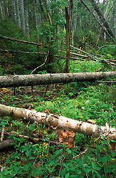 Nancy Brook Scenic Area, White Mountain N.F. Old-growth boreal forest disturbed by ice storm in '98.  Asters and goldenrod among fallen birch and fir.Livermore, NH