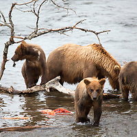 USA, Alaska, Katmai. Grizzly sow and three first-year cubs learning to catch and eat salmon at Brooks Falls, Katmai National Park.