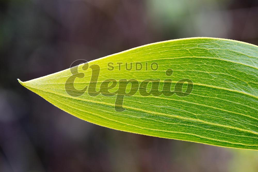 Leaf (expansion of petiole) of Acacia koa. Photographed at Puu Oo Trail on Hawaii Island.