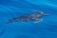 Sea turtle swimming  in Philippines sea