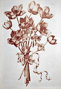 Anemone coronaria, (poppy anemone) Red chalk on paper by Nicolas Robert from Sketchbook A at the Jardin Du Roi, Paris c 1650