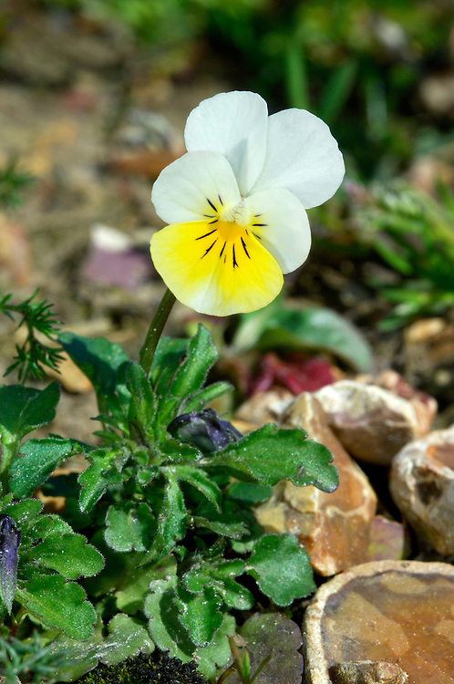 FIELD PANSY Viola arvensis (Violaceae) Height to 15cm<br /> Variable annual found on arable land and cultivated ground. FLOWERS are 10-15mm across and creamy white with an orange flush on the lower petal; sepals are at least as long as the petals (Apr-Oct). FRUITS are capsules. LEAVES have deeply toothed stipules. STATUS-Widespread and common throughout the region.