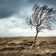 Lone Birch, Kippen