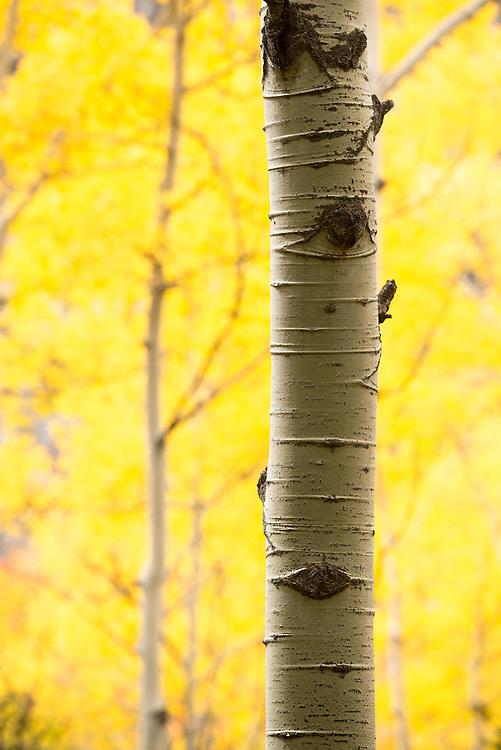Aspen in autumn, Weminuche Wilderness, Colorado.