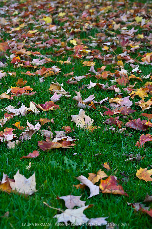 Colorful autumn maple leaves on grass, waiting to be raked into a pile.