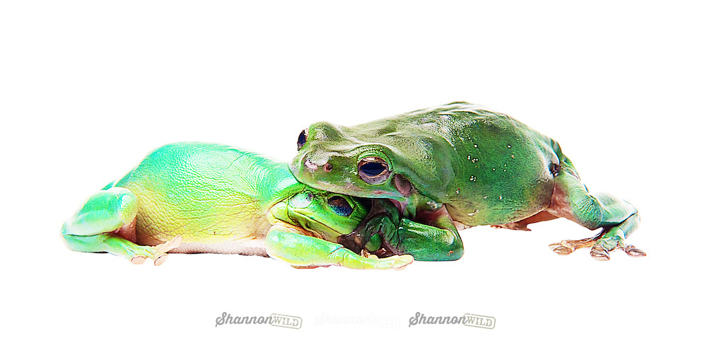The Australian green tree frog, simply green tree frog in Australia, White's tree frog, or dumpy tree frog (Litoria caerulea) is a species of tree frog native to Australia and New Guinea.<br /> <br /> The green tree frog is larger than most Australian frogs, reaching 10 cm (4 in) in length. The average lifespan of the frog in captivity, about 16 years, is long in comparison with most frogs.<br /> <br /> Green tree frogs are docile and well suited to living near human dwellings. They are often found on windows or inside houses, eating insects drawn by the light.<br /> <br /> The green tree frog screams when it is in danger to scare off its foe, and squeaks when it is touched.