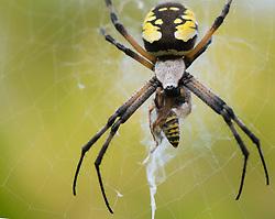 August 22, 2017 - Roseburg, OREGON, U.S - A large garden spider feeds on a yellow jacket wasp in a blackberry thicket along a season creek near Roseburg in western Oregon. (Credit Image: © Robin Loznak via ZUMA Wire)