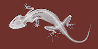 X-ray image of a gecko lizard (white on red) by Jim Wehtje, specialist in x-ray art and design images.
