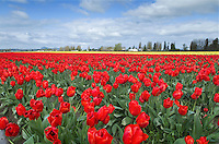 Skagit Valley Tulip Fields, Washington