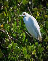 Snowy Egret hunting for breakfast. Merritt Island National Wildlife Refuge. Image taken with a Fuji X-T2 camera and 100-400 OIS lens