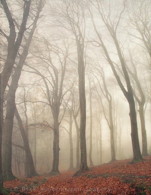Beech trees in autumn fog