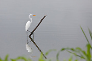 Great Egret, Manglares Churute Ecological Reserve