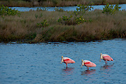 Three Roseate Spoonbills enjoy the late afternoon sun at Merritt Island National Wildlife Refuge in Florida, adjacent to the Kennedy Space Center.  Interesting to find these birds equidistant from each other, and all staring at the photographer.