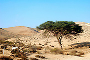 Israel, northern plains Negev desert, Umbrella Thorn Acacia Acacia tortilis. A medium to large canoped tree native to arid areas in the savannahs of Africa and the Middle East