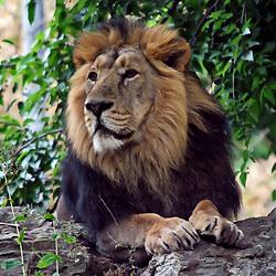 Leão-asiático (Panthera leo persica). Registro feito em 2009. Animal em Cativeiro.<br /> <br /> <br /> ENGLISH: Asiatic lion. Picture made in 2009. Captive animal.