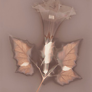 "Lumen print of Datura wrightii, Tucson, Arizona. Available to license and as limited edition archival 20""x24"" prints."